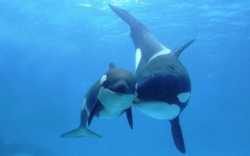 orca-family