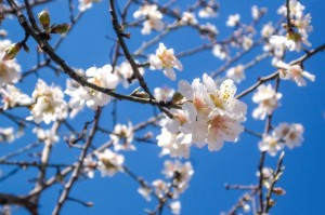 2015-03-Life-of-Pix-free-stock-photos-Flowers-three-almond_blossom-Ivan-Ivankovic