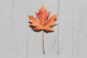 2016-01-Life-of-Pix-free-stock-photos-maple-leaf-concrete-LEEROY