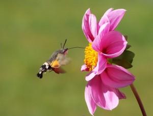 hummingbird-hawk-moth-butterfly-macroglossum-stellatarum-dove-tail-45841
