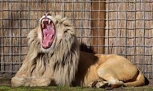 lion-693059_640