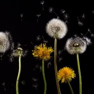 dandelion-macro-common-dandelion-taraxacum (1)